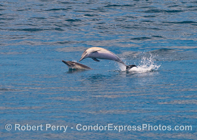 Common dolphins (<em>Delphinus capensis</em>) frolic on a glassy sea.