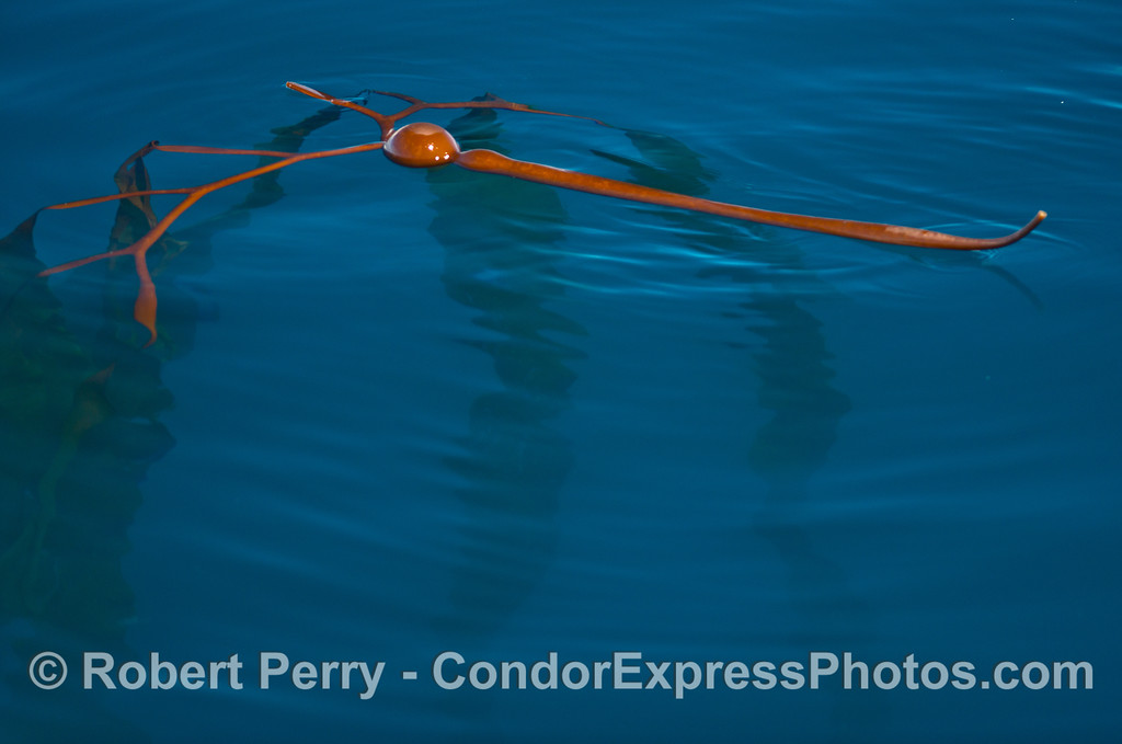 A drifting stipe and gas bladder of elk kelp (Pelagophycus porra) on the surface with its long fronds hanging down.
