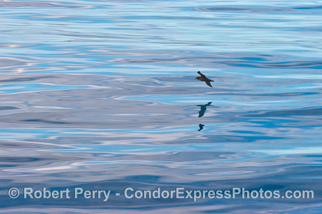 A sooty shearwater (<em>Puffinus griseus</em>) and its reflection.