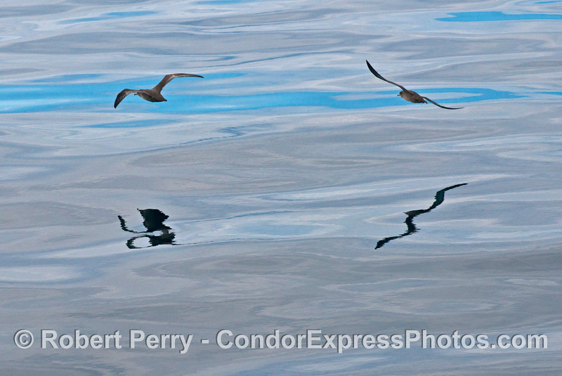 Sooty shearwaters (<em>Puffinus griseus</em>) and their reflections.