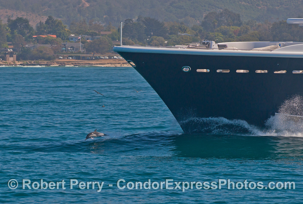 "A lone common dolphin (<em>Delphinus capensis</em>) rides the bow of the yacht, ""Luna.""  Luna is reported to be the world's largest private expedition yacht at 115 m (377 ft 4in) long.  Luna is one of numerous yachts owned by a Russian business tycoon, Roman Arkadyevich Abramovich who is famous for owning the Chelsea Football Club, an English Premier League football team.  The yacht is seen off the coast of Carpinteria en route to Santa Barbara Harbor."