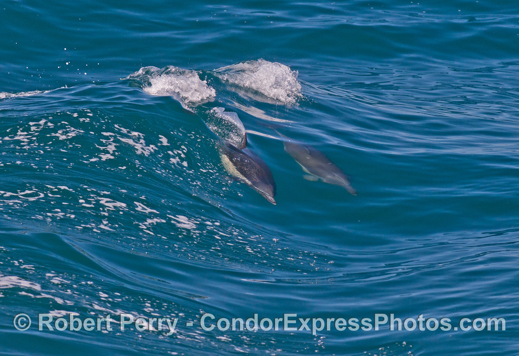 Two Common dolphins (Delphinus capensis) ride a wave.