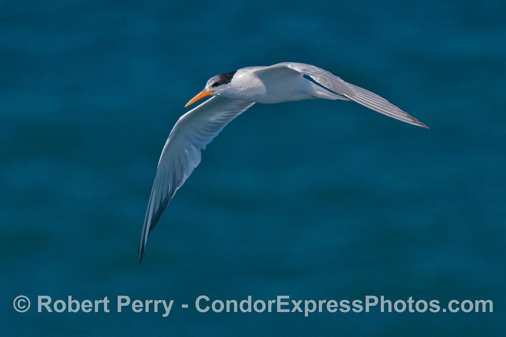 An elegant term in flight (<em>Sterna elegans</em>).
