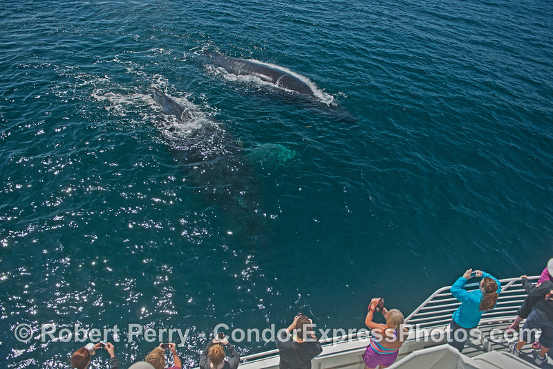 """Two humpback whales (<em>Megaptera novaeanglia</em>) approach the Condor Express.  The upper left whale is our friend """"Rope."""""""