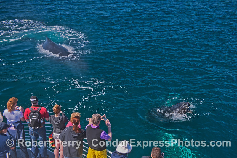 "Again the Condor Express is ""mugged"" by two very friendly humpback whales (<em>Megaptera novaeanglia</em>)."