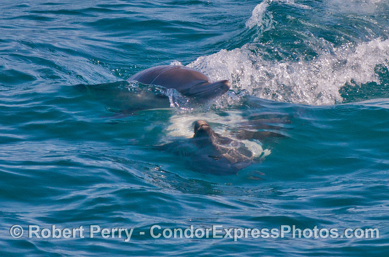 Two common dolphins (<em>Delphinus capensis</em>) are seen cavorting.