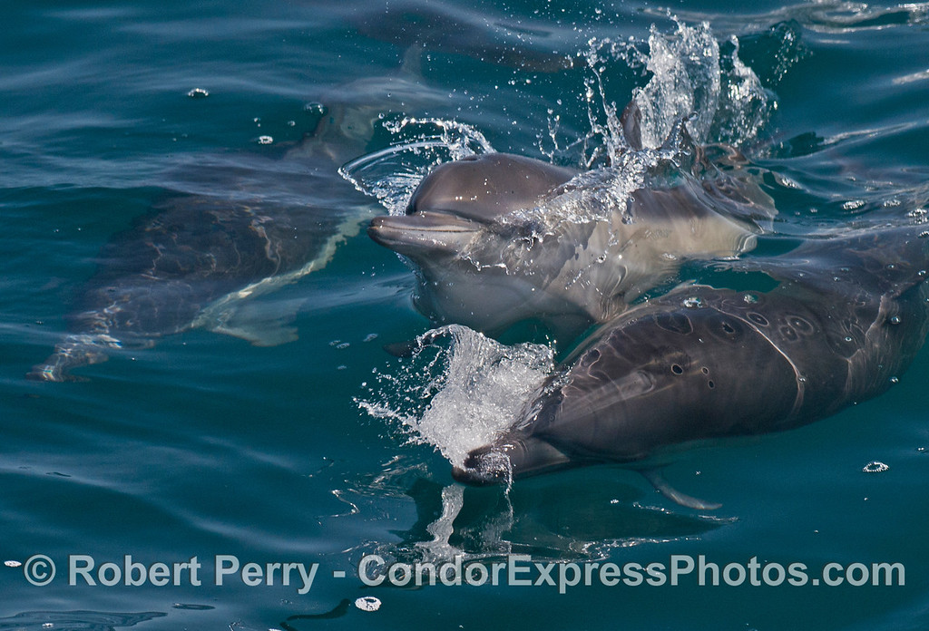 A little common dolphin calf (<em>Delphinus capensis</em>) lifts it head as it swims between two adults.