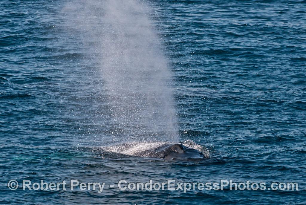 A tall humpback whale (<em>Megaptera novaeanglia</em>) spout.
