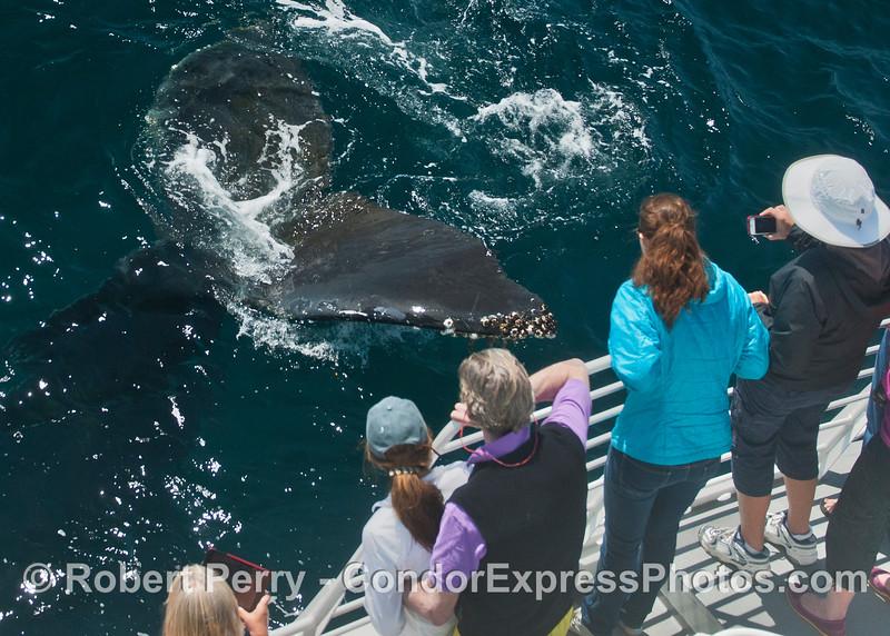 Don't touch the humpback whale tail (<em>Megaptera novaeanglia</em>) !