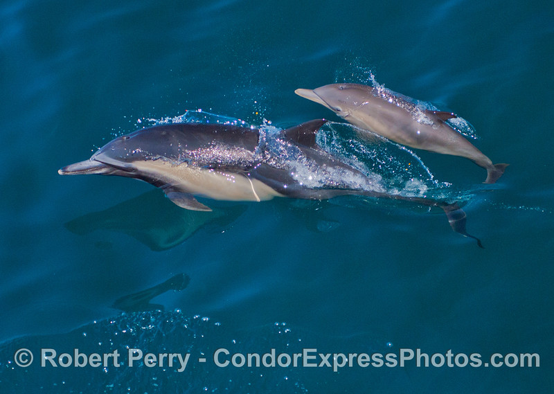 Another view of mother and calf common dolphins (<em>Delphinus capensis</em>).