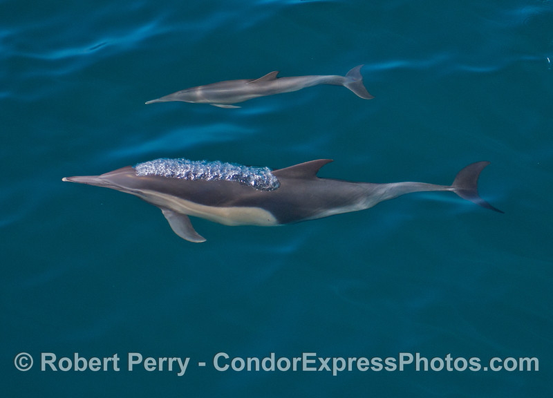 Seen underwater, mother and calf common dolphins (<em>Delphinus capensis</em>).