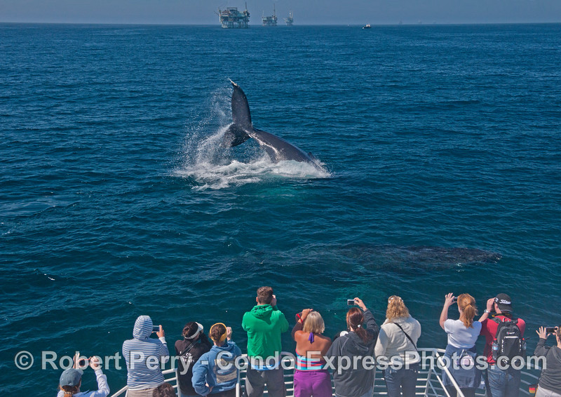Two giant humpback whales (<em>Megaptera novaeanglia</em>), one tail throwing, and the other very close to the boat underwater, are photographed by people on the Condor Express.  The offshore oil platforms Henry, Houchin and Hogan are in the background
