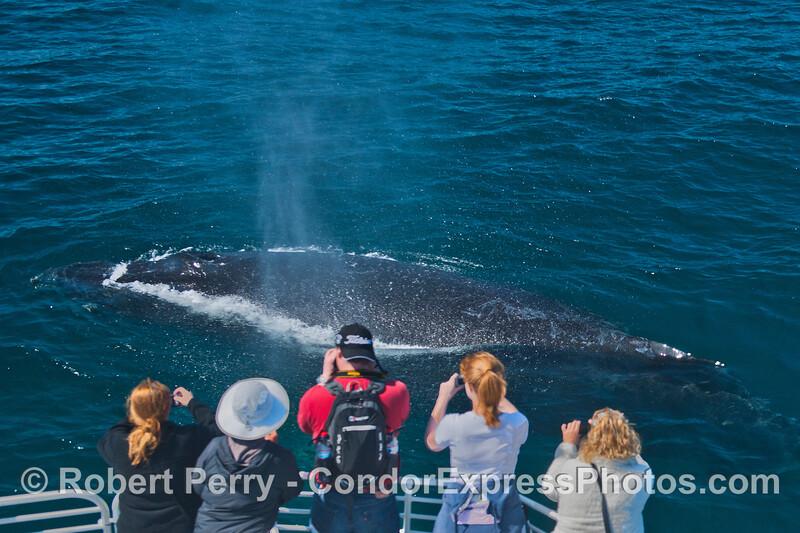 A friendly pass by a curious humpback whale (<em>Megaptera novaeanglia</em>).