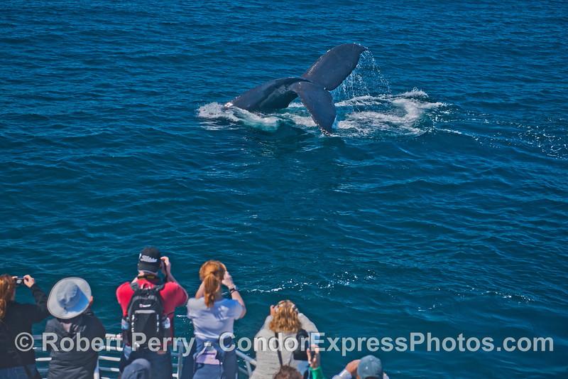 Cameras click as this humpback whale (<em>Megaptera novaeanglia</em>) throws its tail and makes a big splash.
