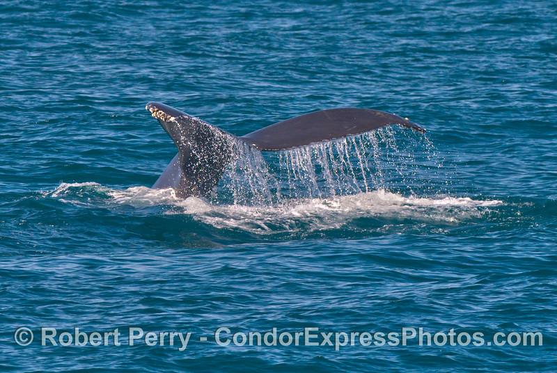 More waterfalls from a humpback whale (<em>Megaptera novaeanglia</em>) tail.