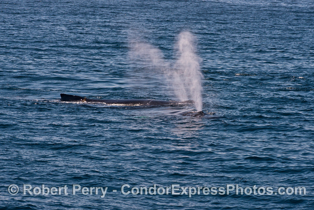 Twin humpback whales (<em>Megaptera novaeanglia</em>), twin spouts.  (Rope is in the back).