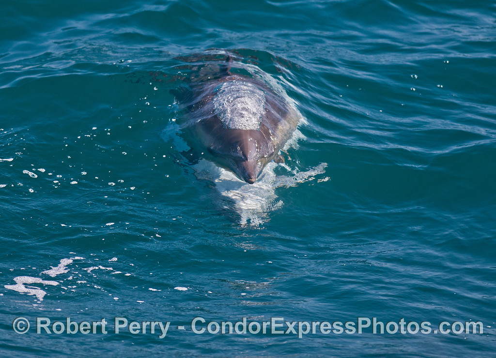 Two mating common dolphins (<em>Delphinus capensis</em>) head directly at the camera.