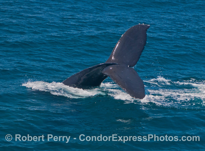 Tail of a humpback whale (<em>Megaptera novaeanglia</em>) with a lazy throwing action.