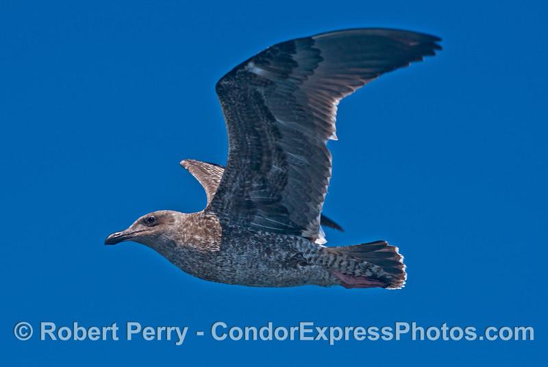 A juvenile gull (<em>Larus</em> sp.) in flight.