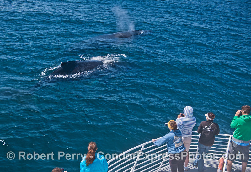 "Two humpback whales (<em>Megaptera novaeanglia</em>) come by for a close visit.  The outer whale is our friend ""Rope."""