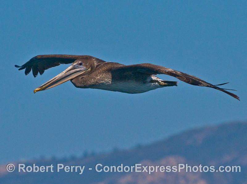 A young brown pelican (<em>Pelecanus occidentalis</em>) keeps an eye on the camera.