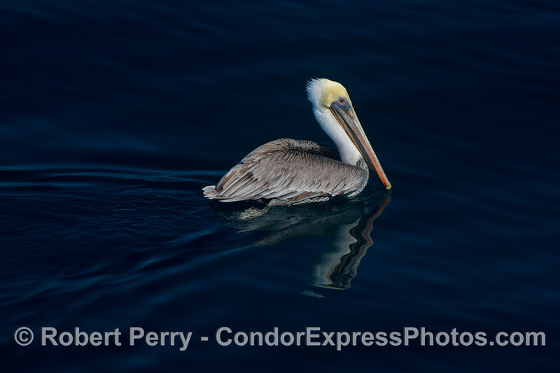 An adult brown pelican (<em>Pelecanus occidentalis<em>) has a reflective moment on the blue water.