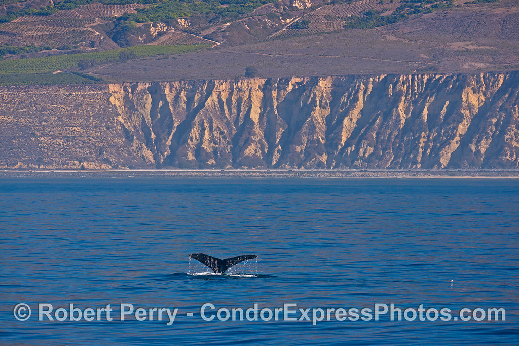 More tail flukes of a humpback whale (<em>Megaptera novaeangliae<em>) with the cliffs of western Ventura County and Highway 101 in the back.