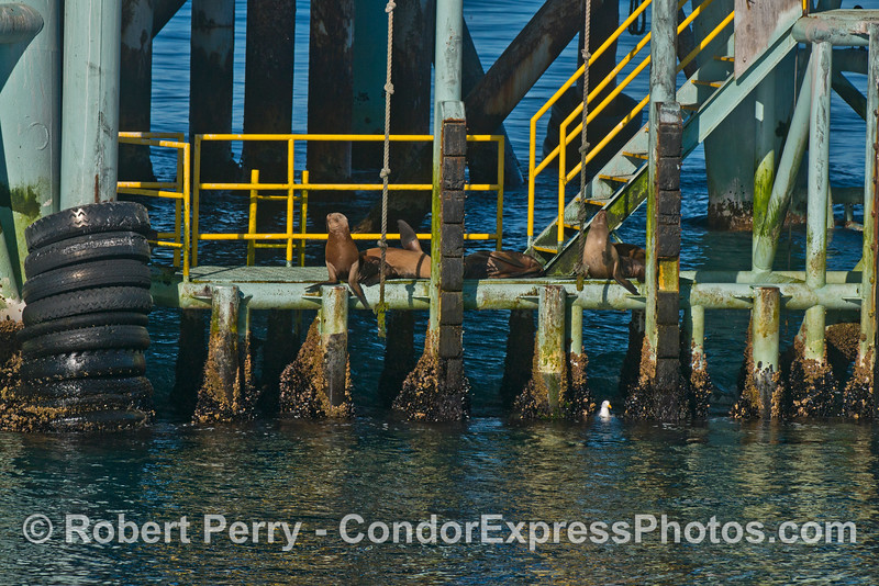 California sea lions (<em>Zalophus californianus</em>) relax on the landing of Platform Henry.