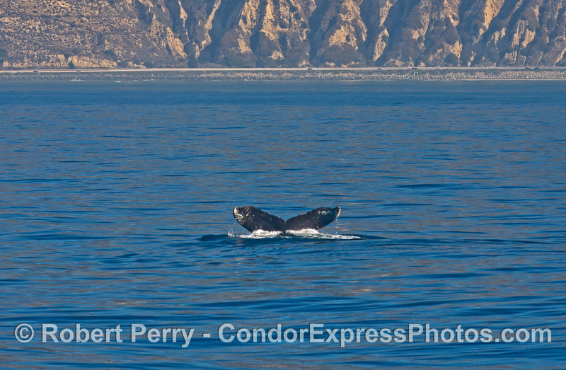 Tail flukes of a humpback whale (<em>Megaptera novaeangliae<em>) with the cliffs of western Ventura County and Highway 101 in the back.
