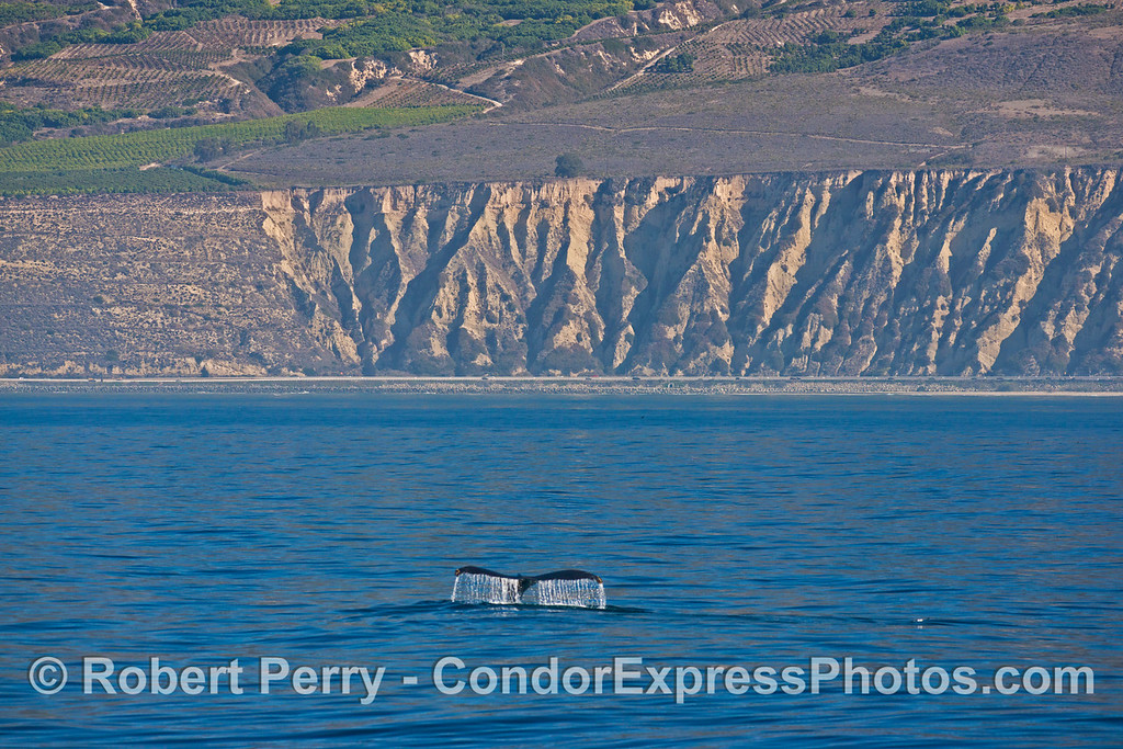 The mighty tail fluke of a humpback whale (<em>Megaptera novaeangliae<em>) with the cliffs of western Ventura County and Highway 101 in the back.