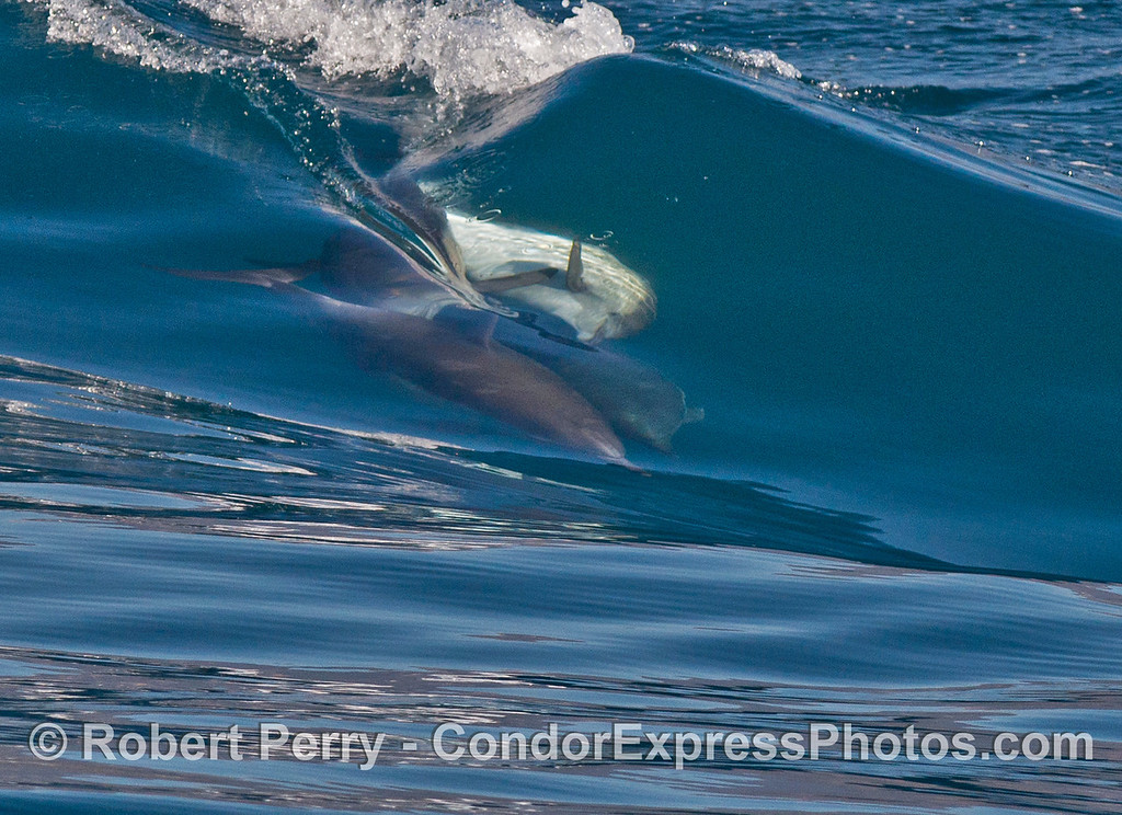 7 shots in a row: common dolphins (Delphinus capensis) mating while surfing.