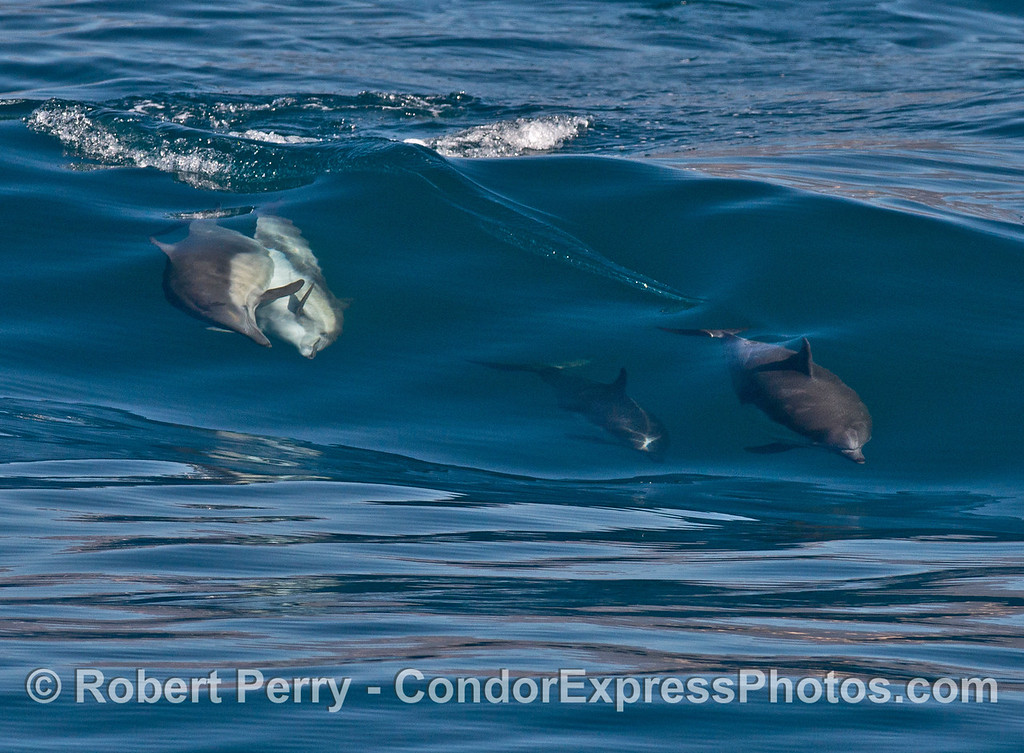 7 shots in a row: common dolphins (<em>Delphinus capensis</em>) mating while surfing.