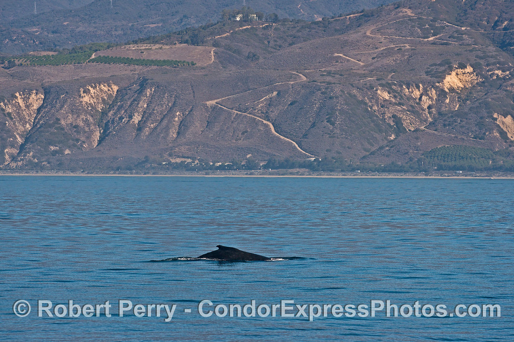 A humpback whale (<em>Megaptera novaeangliae<em>) plies the waters with the cliffs of western Ventura County and Highway 101 in the back.