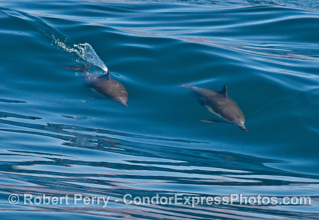 Surfing common dolphins (<em>Delphinus capensis</em>).