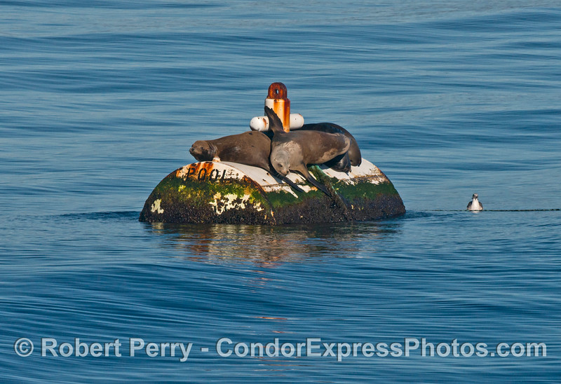 California sea lions (<em>Zalophus californianus</em>) on the mooring can for Platform Henry.