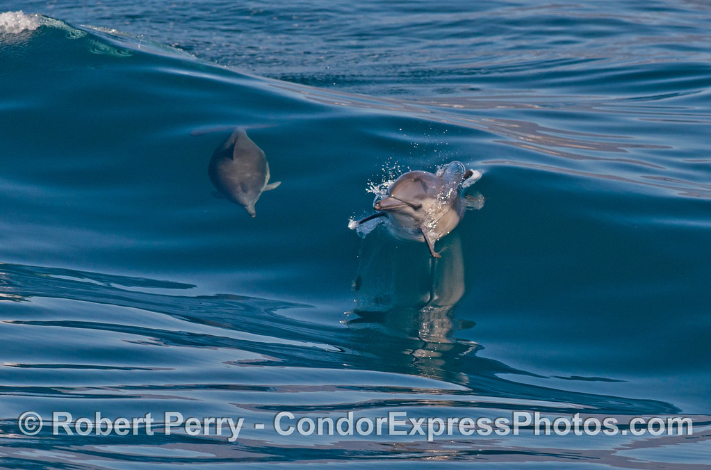 Common dolphins (<em>Delphinus capensis</em>).