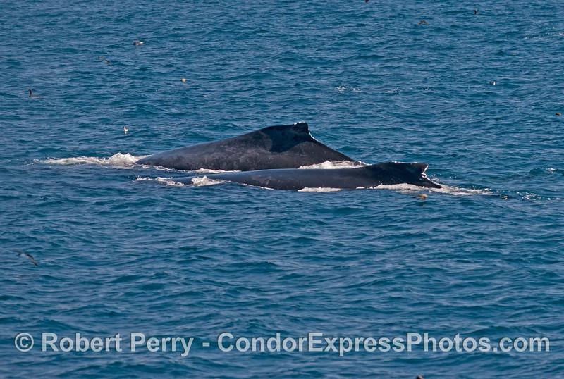 Humpback whales (<em>Megaptera novaeangliae</em>) side by side.