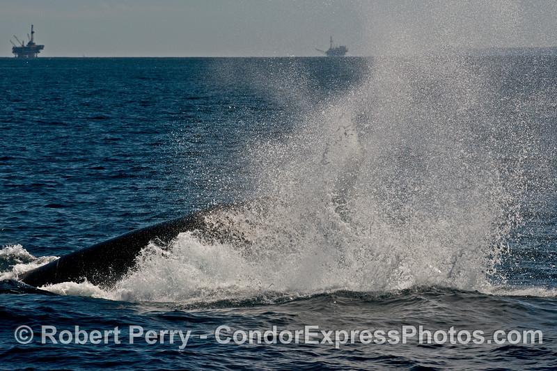 Image 2 of 2 -  a humpback whale (<em>Megaptera novaeangliae</em>) throws its tail.