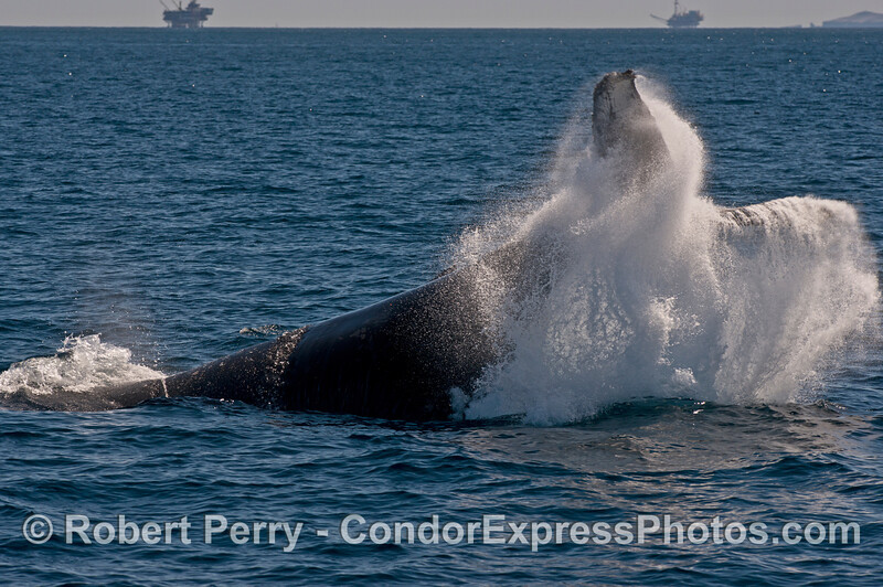 Image 1 of 2 -  a humpback whale (<em>Megaptera novaeangliae</em>) makes the ocean erupt like a giant water fountain as it throws its tail to warn a pesky sea lions.