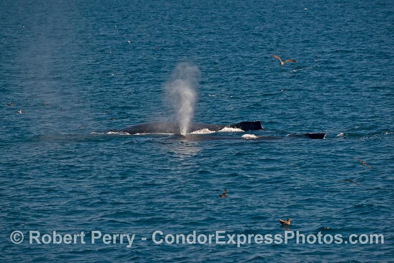 Two humpback whales (<em>Megaptera novaeangliae</em>) on the feeding grounds side by side.