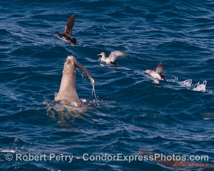 Five shots in a row:  a California sea lion (<em>Zalophus californianus</em>) feeds on a barracuda, shaking and throwing it around in the process.