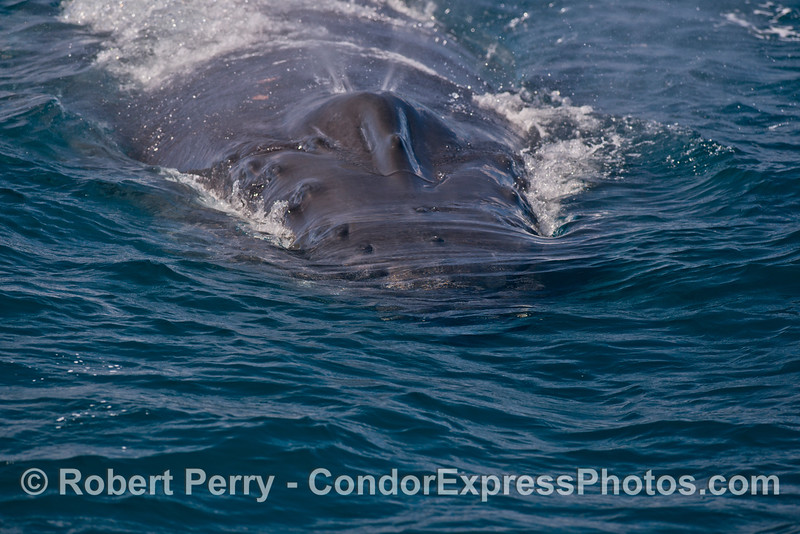 A very friendly humpback whale (<em>Megaptera novaeangliae</em>) heads directly for the camera as it starts to spout.