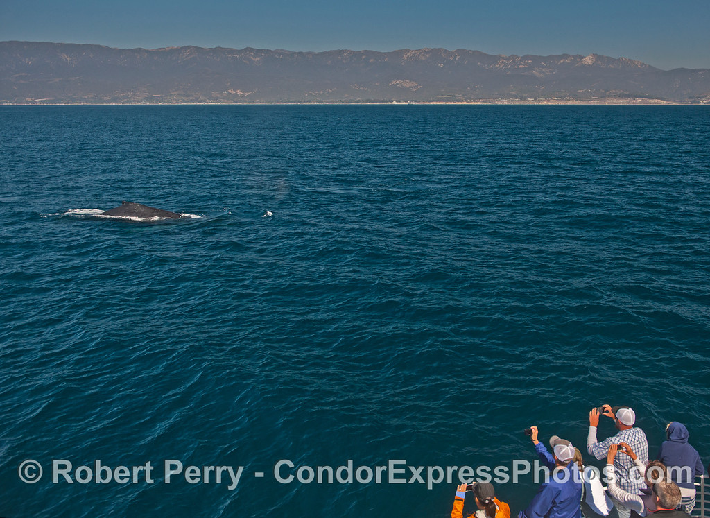 A humpback whale (<em>Megaptera novaeangliae</em>) comes over to the Condor Express for a friendly visit.