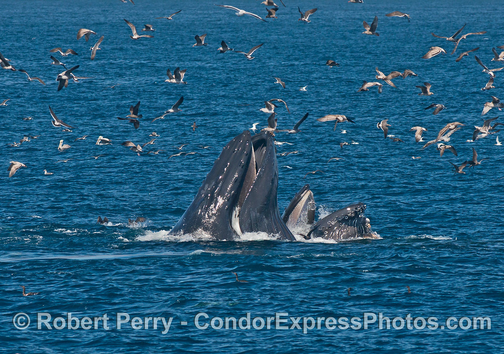 Sea birds circle the area looking for scraps as two large adult humpback whales (<em>Megaptera novaeangliae</em>) lunge feed at the surface.