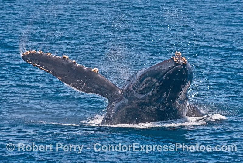 5 of 7 images in a row:  a humpback whale (<em>Megaptera novaeangliae</em>) breaches as it heads directly at the camera.