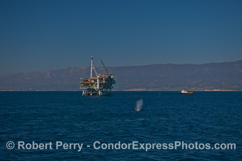 Offshore oil platform Hogan and a humpback whale (<em>Megaptera novaeangliae</em>).