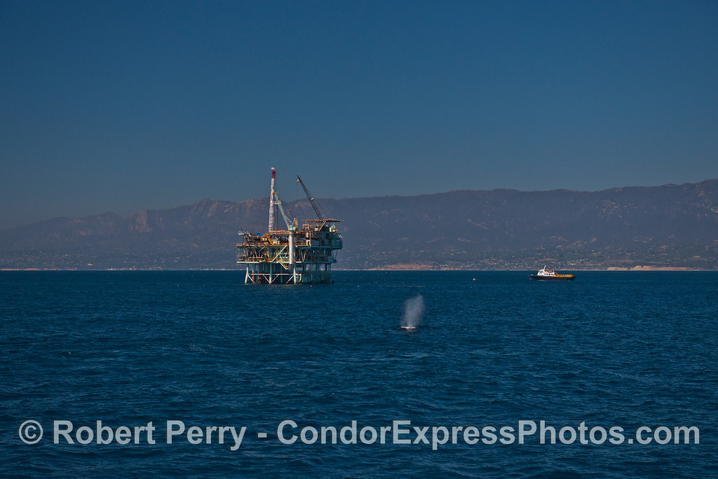 Offshore oil platform Hogan and a humpback whale (Megaptera novaeangliae).