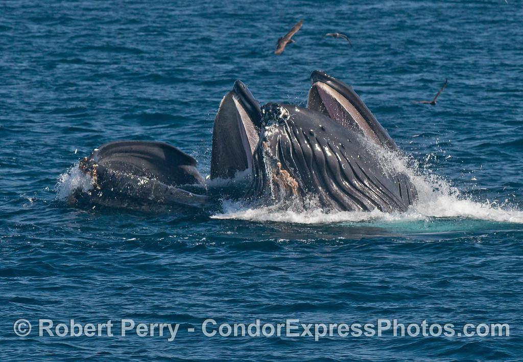 More surface lunge feeding humpback whales (<em>Megaptera novaeangliae</em>).