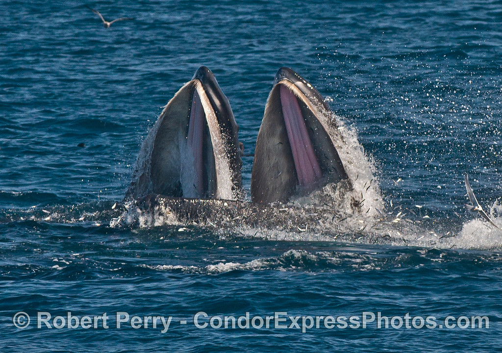 Two giant humpback whale (<em>Megaptera novaeangliae</em>) mouths are wide open and you can see the baleen in the upper jaw and the pink soft palate, as massive numbers of northern anchovies jump to escape becoming lunch for the whales.