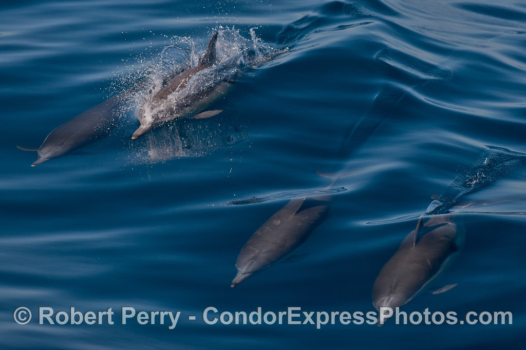Long beaked common dolphins (Delphinus capensis).